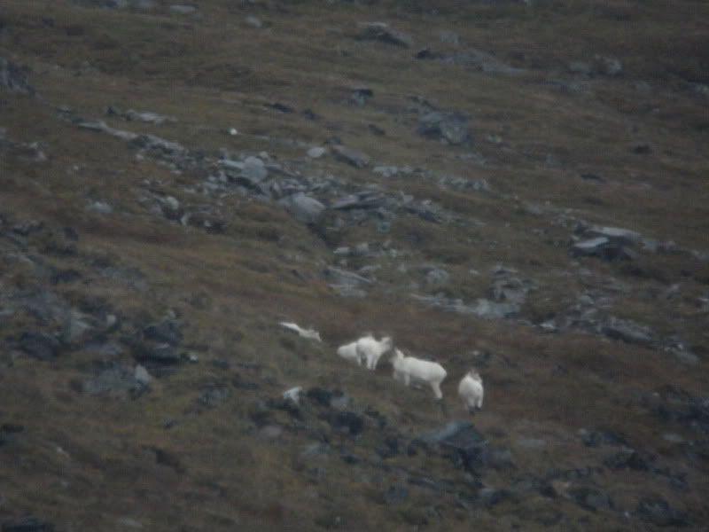 pic 6 sheep
