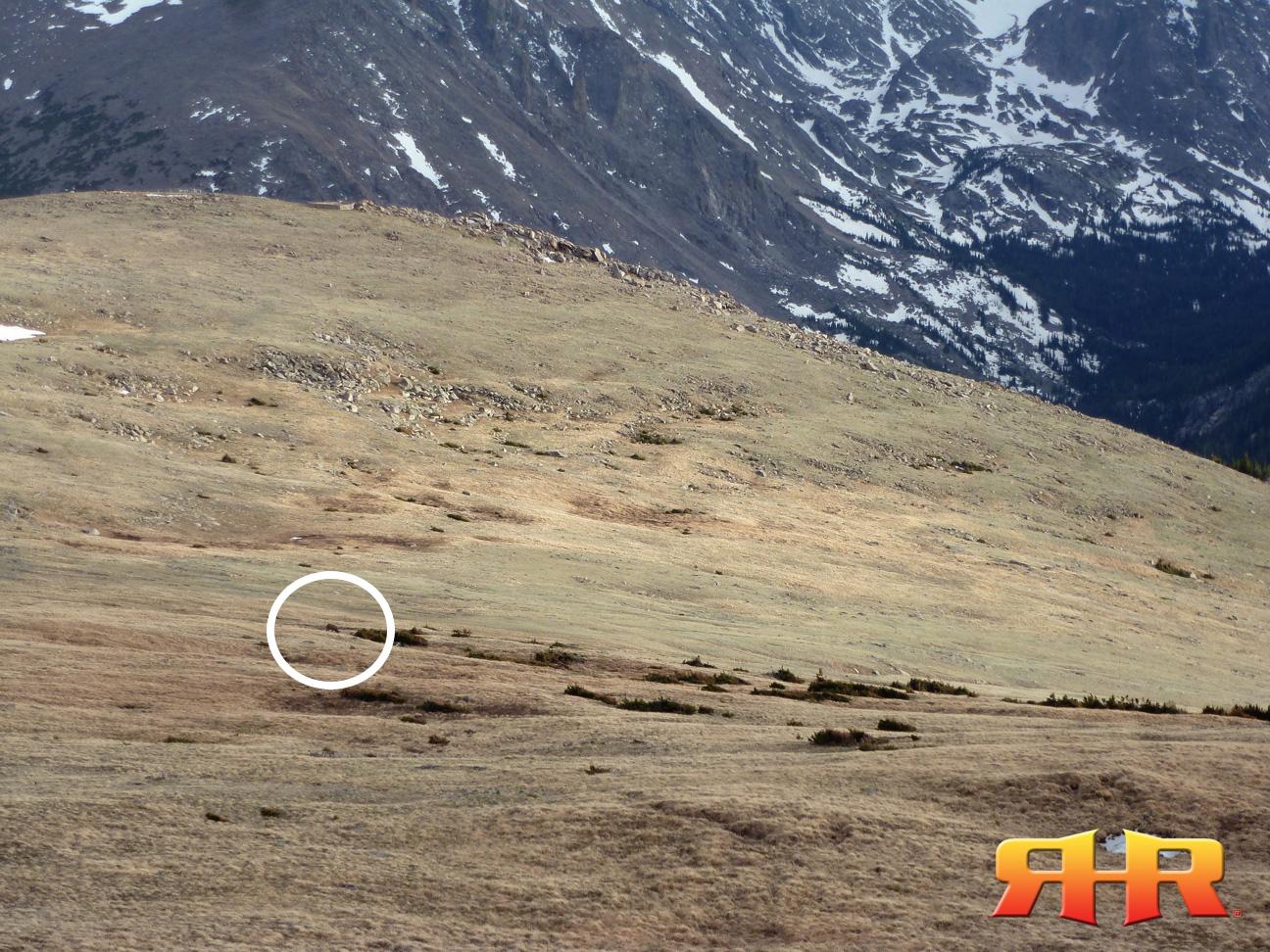cow elk - pregnant - alpine 2012 - wide rhr 1