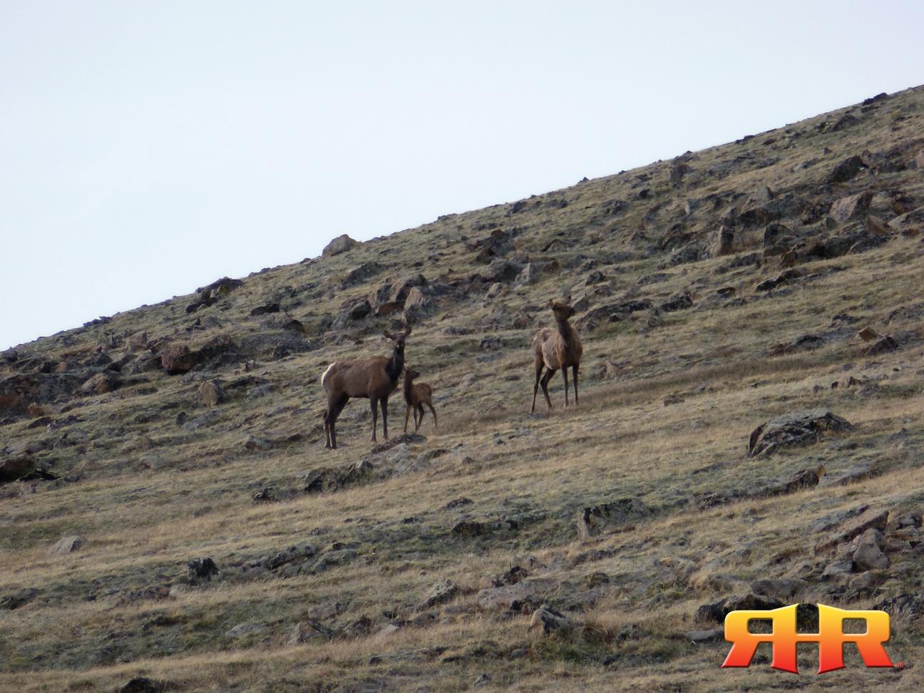 elk calf - alpine - 053012 rhr 1