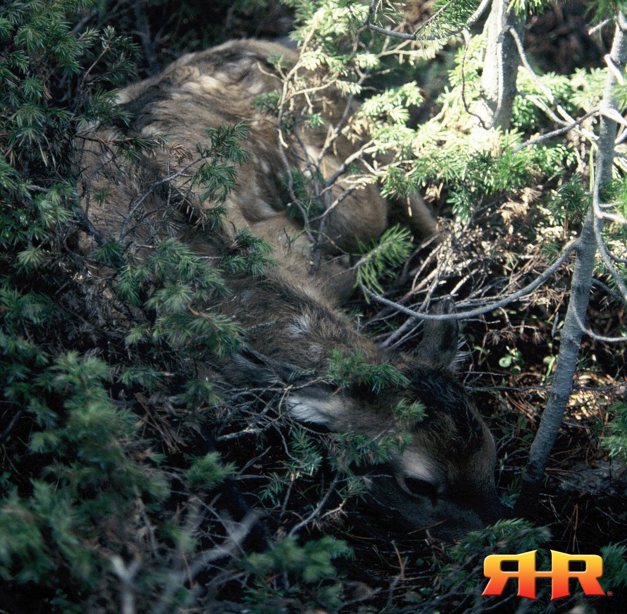 hiding calf - vertical - close rhr 1
