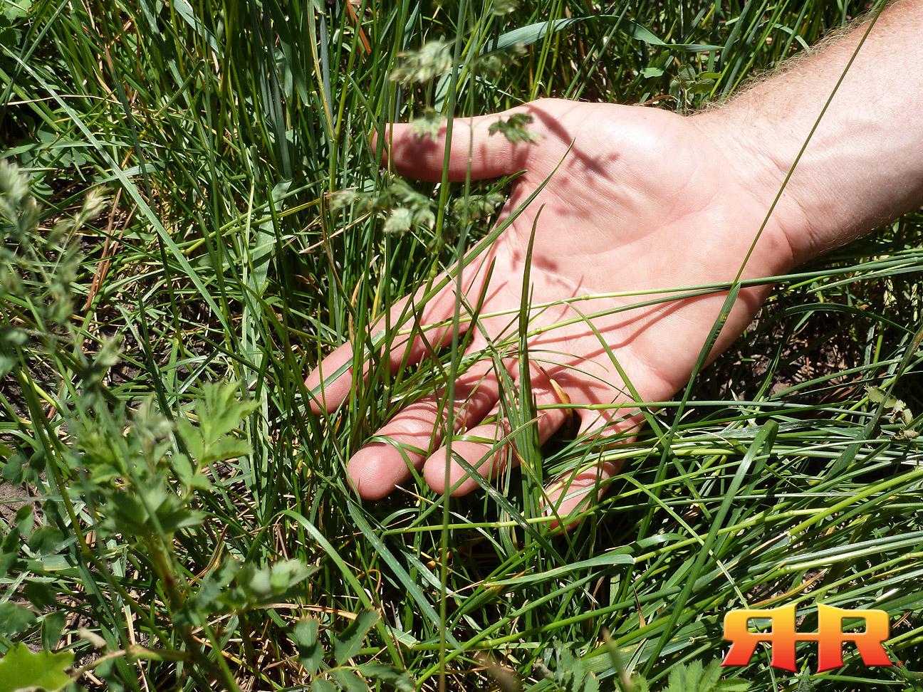 grasses rhr 1