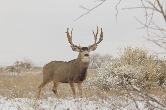 Big-Wintering-Buck.jpg