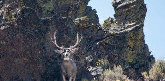 buck in cliffs