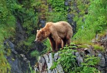 Grizzly lead photo