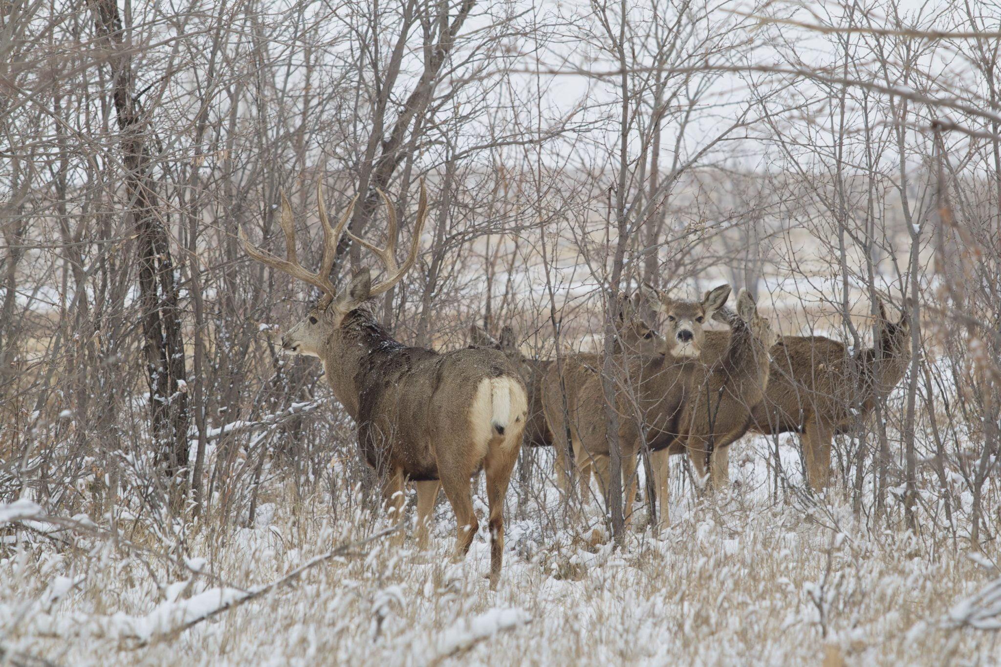 November Big Mule Deer with Does